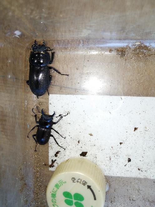 この虫はコクワガタですか?