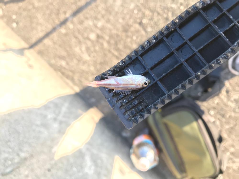 この魚はなんの稚魚でしょうか?? 海で堤防の外側の波の激しい場所で釣れました。。。