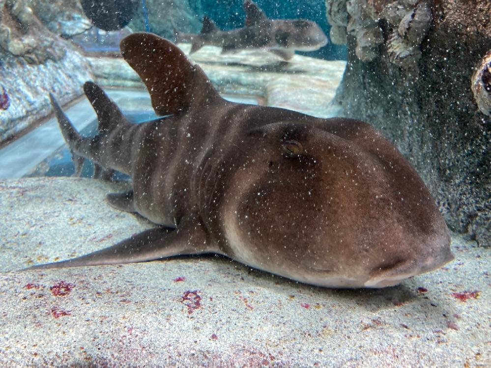高知県、足摺というところにある水族館にいた魚なのですが、 何という魚かわかりますでしょうか? よろしくお願い致します。