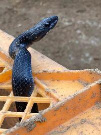 これはヤマカガシの黒化型でしょうか? それともシマヘビでしょうか?
