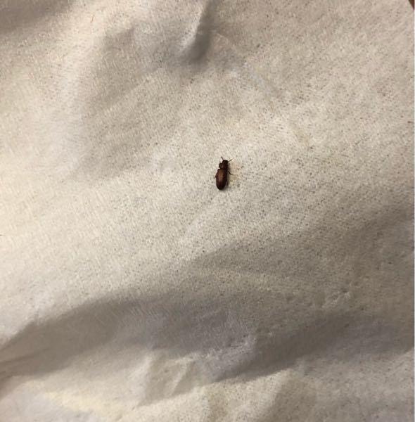 大きさ5ミリくらい色は赤茶色 この虫の名前がわかる方、教えてください。