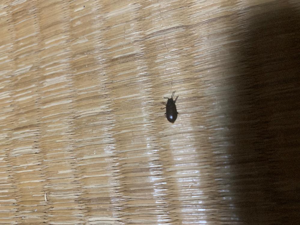 最近こちらの画像の虫を家でよく見かけるのですが、名前がわかりません。わかる方教えてください。