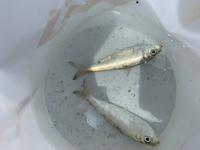 この魚はなんですか? 港の岸壁?でサビキ釣りをして釣れました! 普通の魚より臭いが少しきつかったです! ヌルヌルもしてました! わかる方お願いしますm(*_ _)m