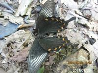 蝶の名前を教えてください、 岐阜県米田白山で、 撮影20210723