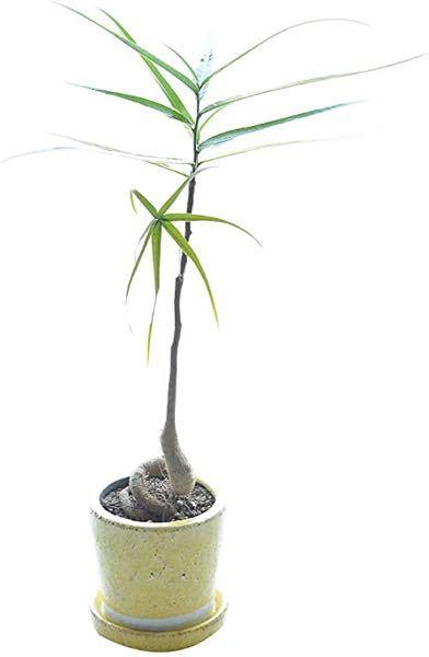 ボトルツリーの枝について質問があります。 写真の様に苗の時点では枝は無くても成長の過程で枝も伸びて来るのでしょうか? 又はこの樹形のまま成長しても変わらないのでしょうか? 幹ですが、巻いた物かま多いですが、どの様な形が人気なのでしょうか?よろしくお願い