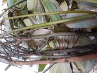 知り合いから生のシナモンの枝葉を貰い、乾燥作業をしています。 調べてみるとシナモンにはセイロンとカシアという種類があるようで、貰った枝葉が何の種類が分かりません。 写真を見て分かる方、教えて頂けますでしょう? よろしくお願いしますm(_ _)m