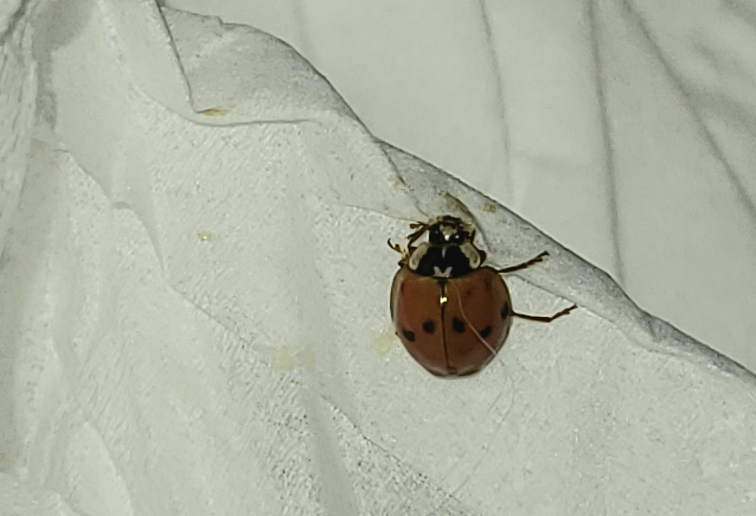 この虫わかりますか? 家の天井にくっついていました。