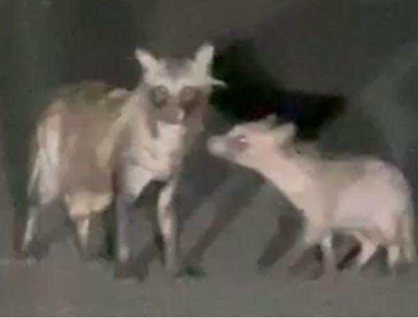 動物に詳しい方お願いします。 家の近くにいた親子連れなんですが、これはタヌキでしょうか?