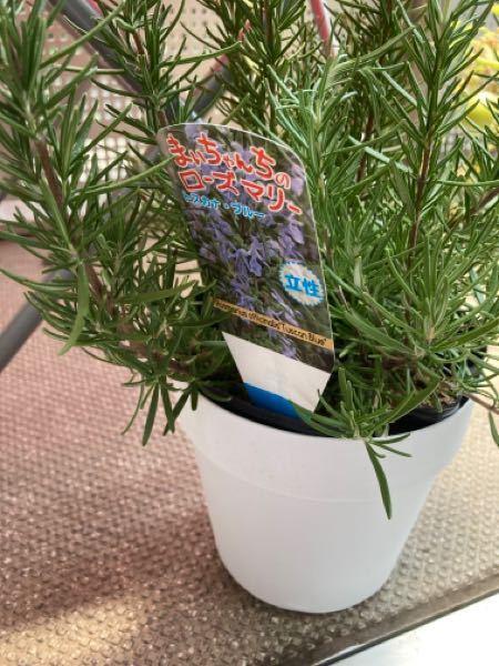 ローズマリー、植え替え必要ですか?昨日購入しました。これは苗ではなくハチですか?そうなると植え替えは必要ないのでしょうか?初心者なのでよくわかりません。詳しいかた、宜しくお願い致します。