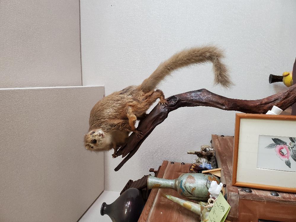 この剥製の動物が分からないので教えてください。大きさは尻尾含めて50cmくらいです。
