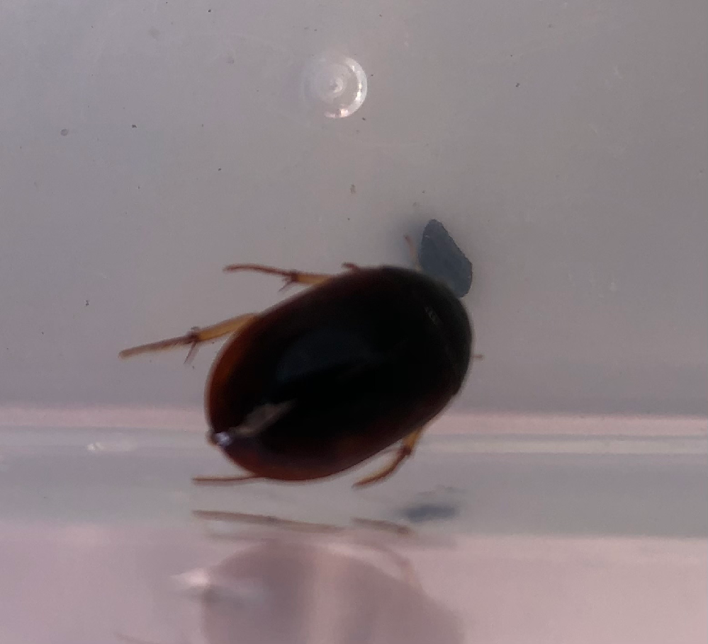 用水路で見つけました。 この生物の名前を教えてください。 少し赤みが見られます。