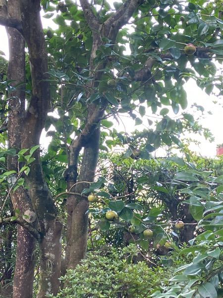 これは何の木の実ですか? 今の季節は夏。 半分赤くなってる実もあります。
