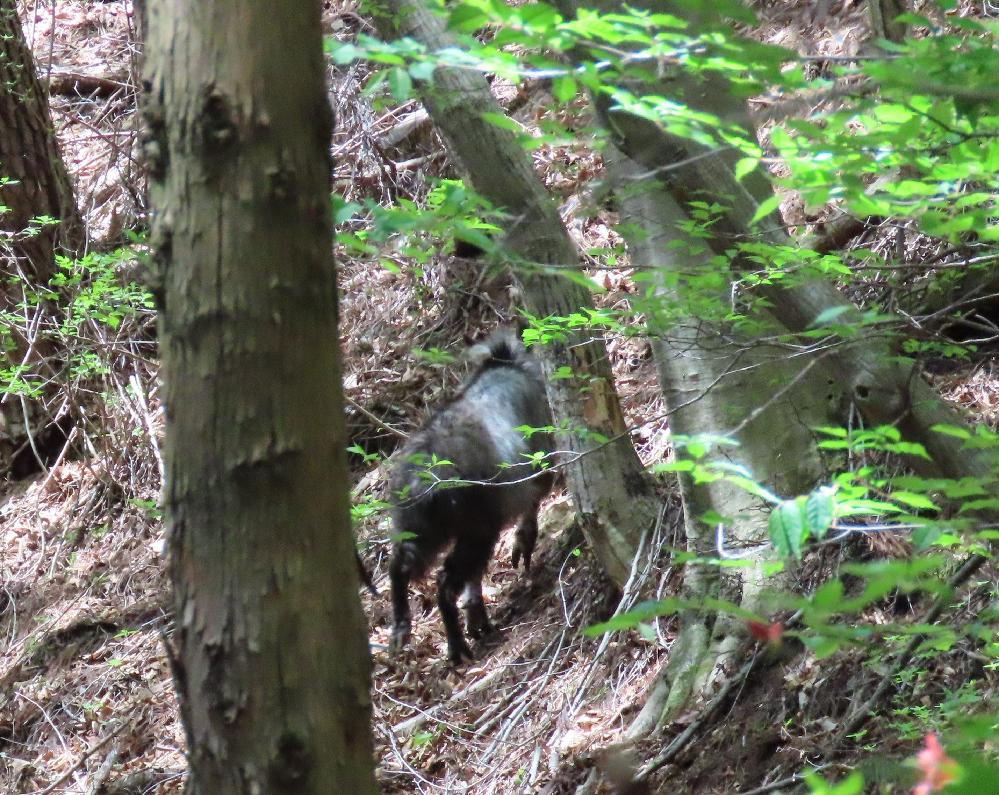 山で見たこの動物は鹿でしょうか? 後ろ姿で分かりづらいのですが