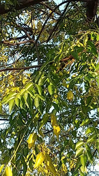 この木の名前を教えて頂きたいです。