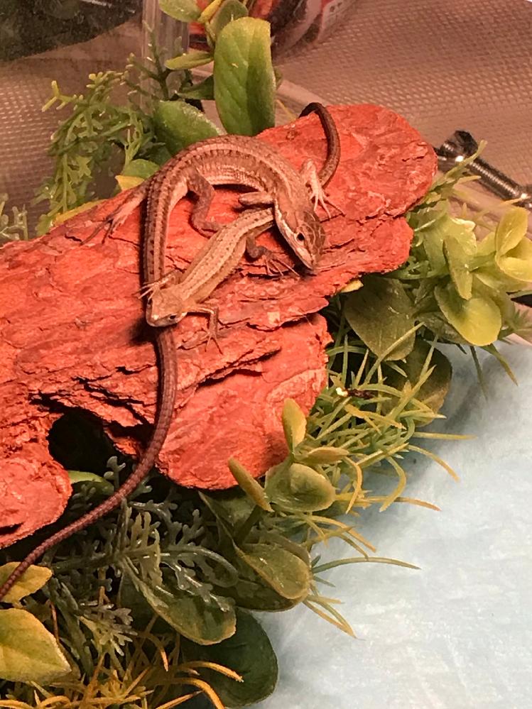 カナヘビの交尾について うちのカナヘビ達は 何回か交尾に成功して 子供が産まれてきたのですが 今日初めて見たのですが オスがメスのお腹から下辺りを噛み メスがオスの頭に噛み付いてたのですが 大丈夫なのでしょうか? 流石に心配だったので 引き離したのですが…
