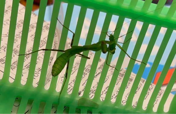 これは何カマキリのオス?メス?の幼虫ですか? ヒメクダマキモドキの幼虫を捕食しますか? 捉えて触覚を食べ頭を齧ろうとしたところで離しました。