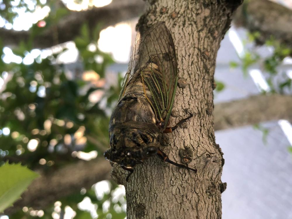 7/25午前6時、公園の木に蝉がとまっていました。 全く動かず鳴いていませんでました。 死んでるのでしょうか?死んだら木から落ちますか? 寝てるのでしょうか?蝉も寝ますか?