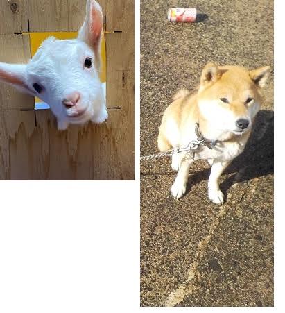 左のヤギと右の柴犬どちらaが可愛いですか??」僕は両方可愛いです。