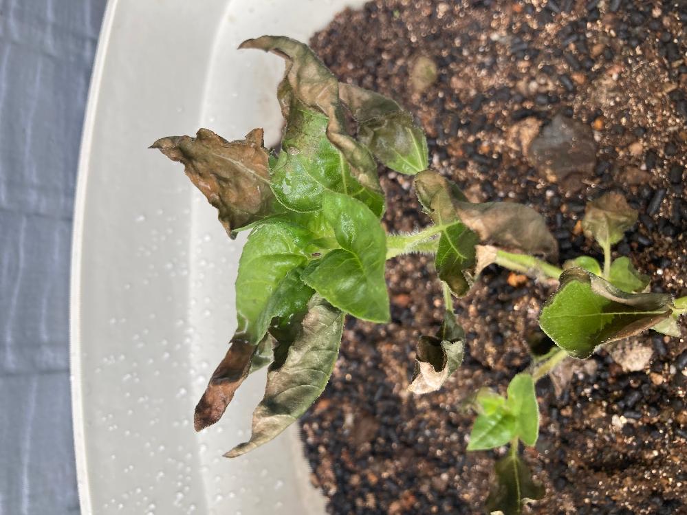 ヒマワリ(小型)の葉っぱがこんなふうになってしまったのですが、病気でしょうか?肥料焼けでしょうか…… 水は朝夕2回、暑くない時間帯にやって、日当たりの良いところに置いていました。 今からリカバリー出来ますか?