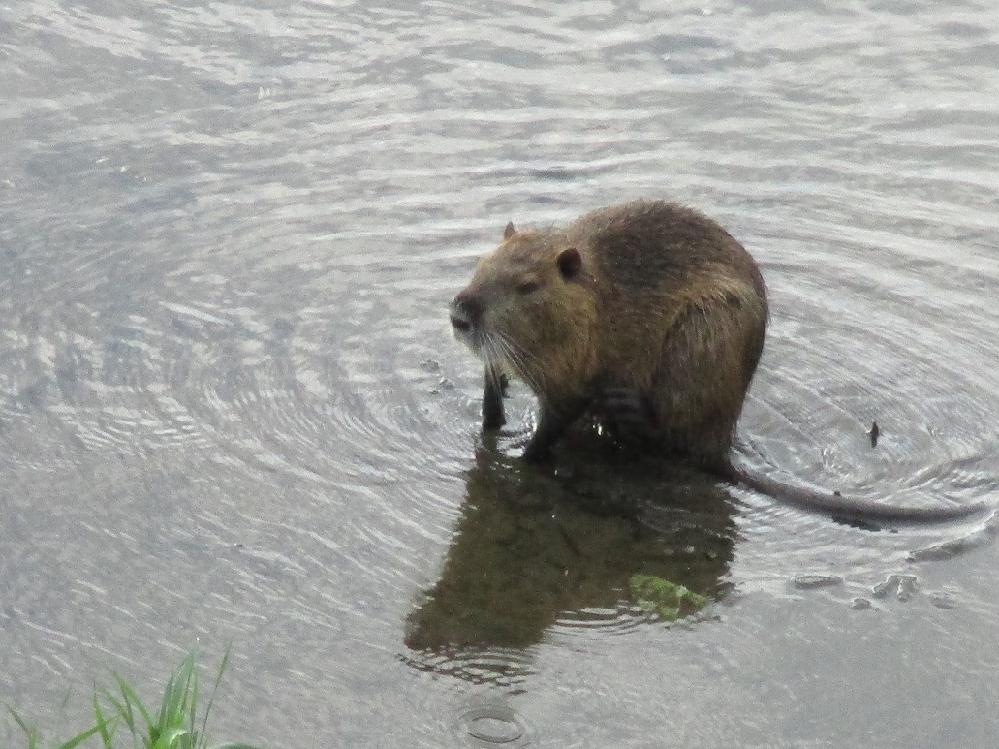 農業用用水の川で妙な生物に出くわしてしまいました、この生物の正体は何でしょう? 、ネズミの様で・・それにしては体が大きいし・・・私が撮影時、結構、長くその場で身づくろいをしてましたが、やがて川を...