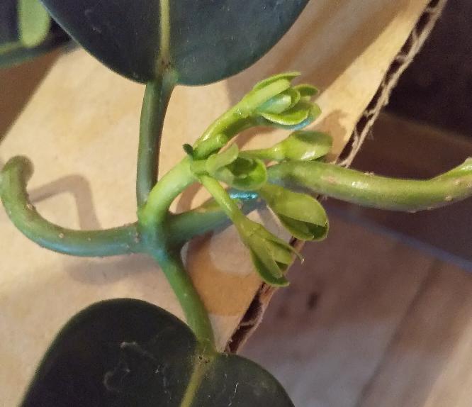 花終わりのマダガスカルジャスミンを購入したのですが、写真は花がらですか? マダガスカルジャスミンは初めてなので経験者のかた宜しくお願いします。