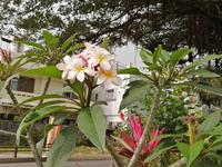 那覇市内で撮ったお花ですが名称はプリメリアでしょうか?