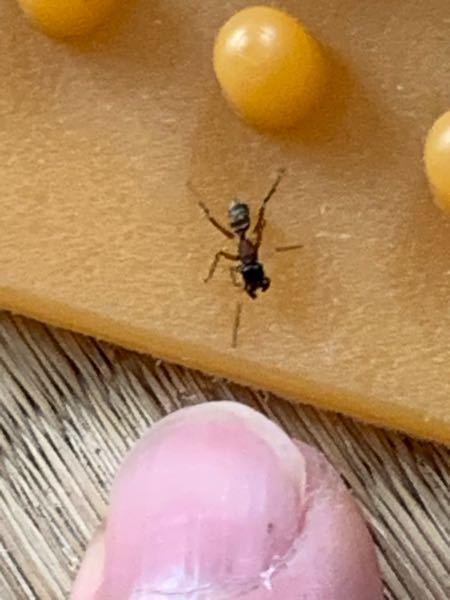 この蟻の名前を教えてください。