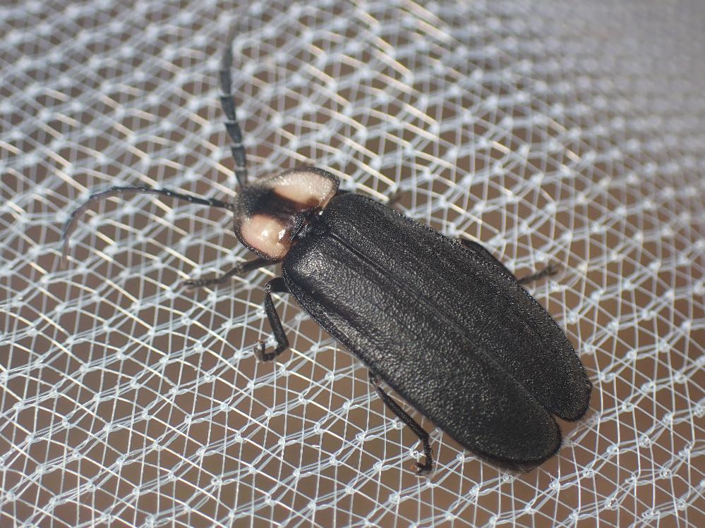 画像の虫はオオオバボタルですか?色が薄いのは個体差でしょうか。