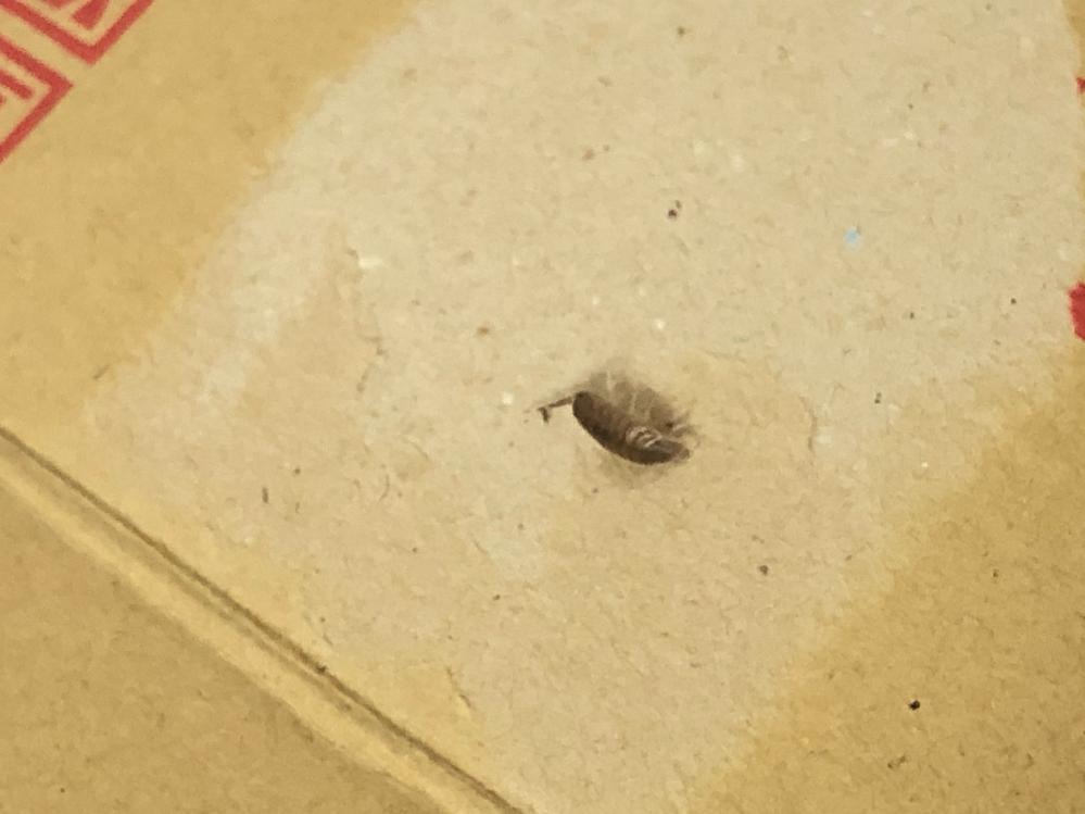 【閲覧注意】 先程家に小さな虫が出ました。大きさは1センチほどで、短い触覚があり色は焦げ茶です。足は半透明で、体に横縞模様が入っています。動きはそれほど早くはなかったと思います。これはゴキブリの赤ちゃんでしょうか。それとも別の虫でしょうか。 写真は殺虫剤をかけたあとのものです。胴体と足が両方見えるよう横から撮りました。虫が苦手であまり近づいて撮れなかったので分かりづらいとは思いますが、ぜひ教えていただきたいです。