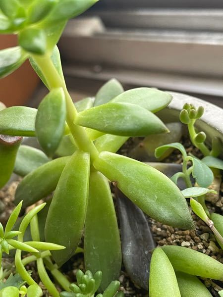 多肉植物を明るい窓際で育ててるんですが少し徒長気味で下の葉から枯れるというか痛んで落ちます。何ででしょ?