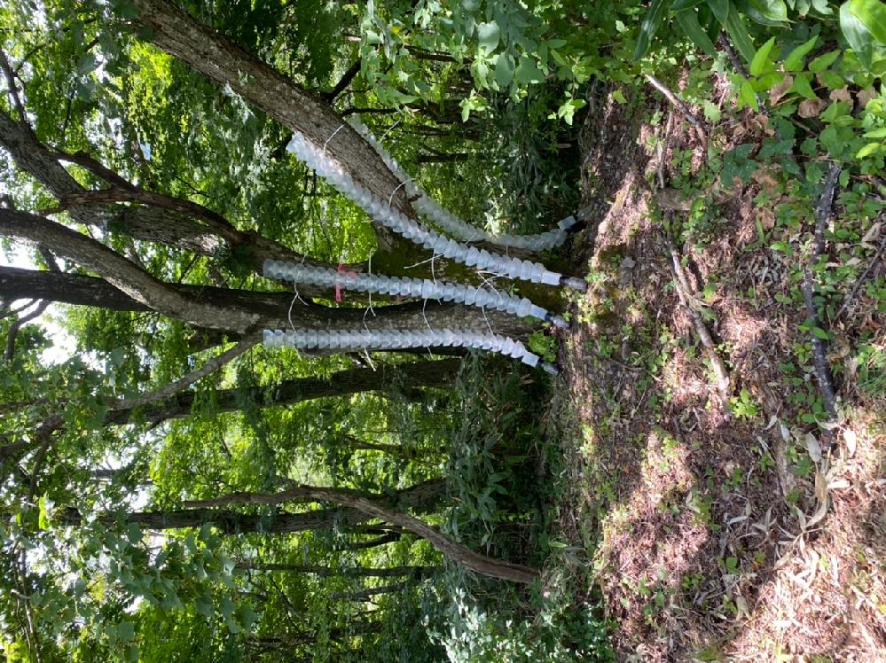 ずっと前から気になっていたのですが、木の周りにあるこれは何かの調査をしているのでしょうか? この木はかしの木だと思います。 どなたかご存知の方いらっしゃいますか?