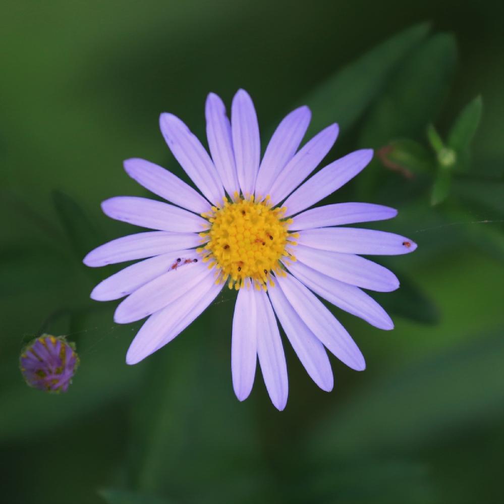 散歩道に咲いてました、この花は野菊でしょうか?よろしくお願いします