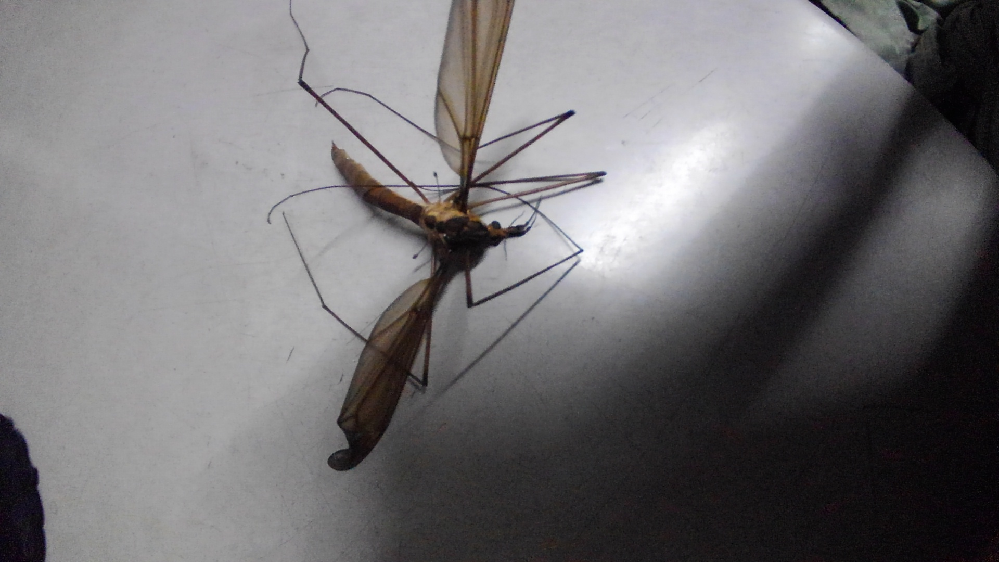 この虫は何と言う名前の虫でしょうか? 宜しくお願い致します。