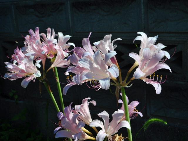 この花の名前教えて?今日撮影しました。ユリの仲間のようです。