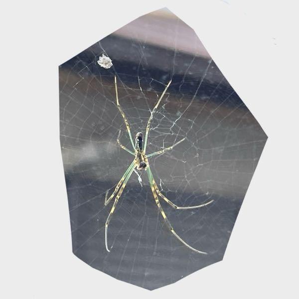 【教えてください!】このクモはなんという名前のクモ何でしょうか。調べても出てこず、、、窓に巣をはられているのですが益虫ならこの夏は駆除しないでおこうと思うのですが、、、