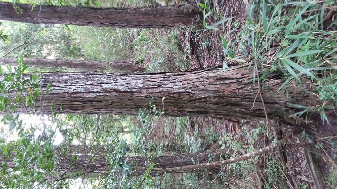 家の裏山にあるヒノキを自分で伐採して製材してもらおうかと考えているのですが、木材として適している木かどうか分かりません。 見た目からどのように判断すればよろしいのでしょうか? 高さ約20mで径...