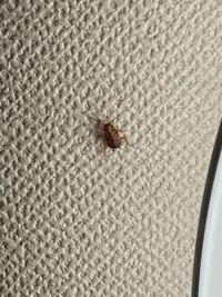 これはゴキブリですか? また、なんて種類のゴキブリですか? 小指の爪くらいの大きさでした。 ゴミ箱で捕獲しようとしたらピョンと飛んできて見失い、恐怖で部屋に入れません。