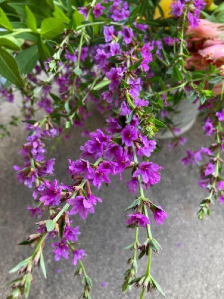 この花の名前を教えてください。 山野草なんでしょうか?