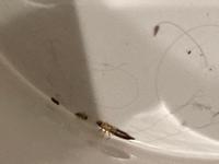 ゴキブリみたいな茶色くて細長いウネウネする虫だったのですが、 この虫はなんと言う虫かわかる方いらっしゃいますか?  21時ごろ仕事から帰って、真っ暗だった一階の洗面所の電気つけたらいました。 ゴキブリ!?って思ったけど動きがそんなに速くなかったので違うのかな?と思いました。 気持ち悪すぎてマジマジ見れなかったですが、多分こいつの近くに小さい虫二匹くらいいました。 お尻の方が尖った尻...