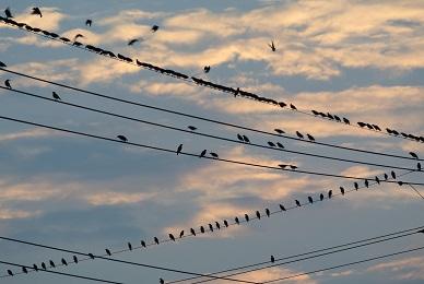 この野鳥の大群は・・・? 野鳥の名前と理由を教えてください。