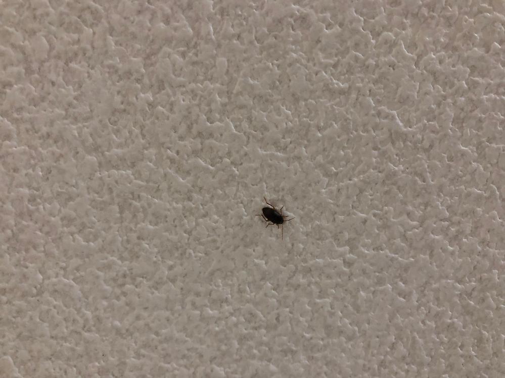 これってゴキブリの幼体ですか?
