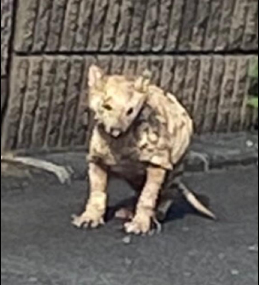 これは犬ですか?道端で動物を見つけたのですが、全く分かりません。それとも病気なのでしょうか?