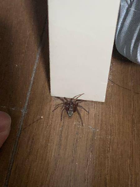 この蜘蛛って何の種類の蜘蛛ですか? 大きさで言うと人差し指の爪ぐらいか少し大きいぐらいです。 遭遇したらアダンソンハエトリなどと違っていつも置物の下や物陰を求め、積極的に隠れていきます。 まさか、アシダカグモの子供だったりますか、、、?