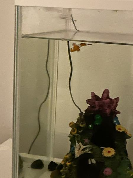 カクレクマノミの眠り方について。 先程水槽を覗いてみたところ、画像のように水面で横になりヒレをヒラヒラさせていました。 クマノミはこのように眠ることもあるのでしょうか…?もしかして弱っているのでは?と心配です