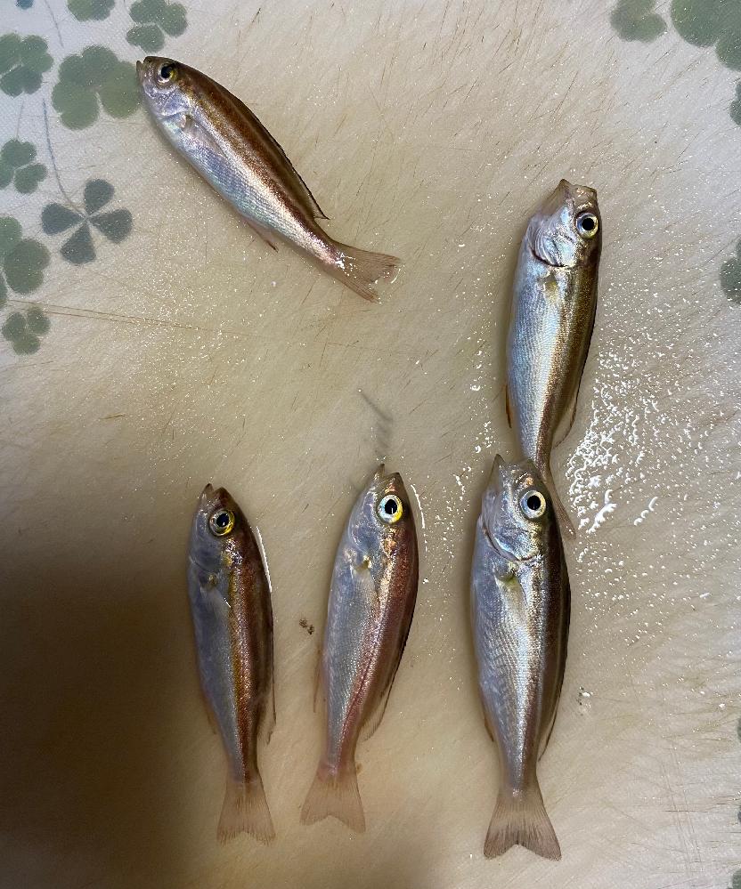 海のサビキ釣りで釣れた魚の種類ですが、こちらのお魚はイサキでよかったでしょうか。 釣り初心者ですので、ネットで調べてもよく分からなかった為…。 また、こちらイサキだった場合、まだ小さいのですが、同じ場所で釣りをした場合、もう少し経って秋冬ごろになれば同じ場所でもう少し成長した、同じ魚が釣れるようになるのでしょうか?