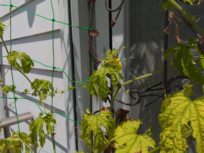 ゴーヤ2苗をベランダでプランター栽培しています。追肥しなくても実がなっていくので、肥料をあげないまま水だけあげていたところ、ひと苗につき、ゴーヤを5本ほど収穫したところで、実がならなくなりました 恥ずかしながら野菜を育てるのは初めてで、ゴーヤが肥料をたくさん必要とすると知りませんでした。もっと早くにあげればよかったのですが(+_+) 今から追肥すればまた身を付けるのか、時期的にもう実はならないと考えるのか、どちらでしょうか? 来年はさらに苗を増やすつもりなので、ゴーヤに良い肥料があればどなたか教えていただけると嬉しいです