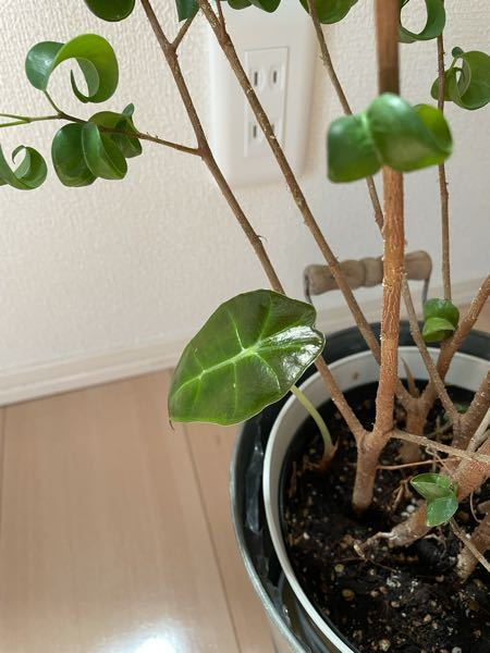 ベンジャミンを育てていたら葉っぱの特徴が違うものが横から生えてきました。これは何でしょうか?種類が違うなら別鉢で育てたいと思いますが可能でしょうか?