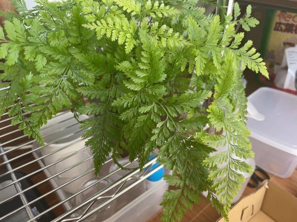 この観葉植物の名前はなんですか?