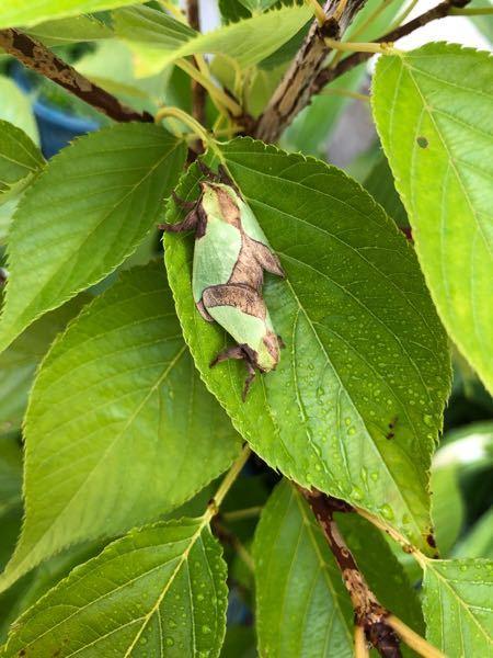 蛾ですか?桜の木にとまってました。害はありますか?