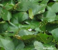 水草の名前を教えてください、 岐阜県美濃加茂市信友のため池 撮影20210729